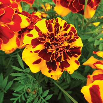 Marigold (French) Goldiluxe Flower Seeds