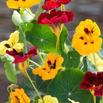 Nasturtium Queen Victoria Mix Flower Seeds