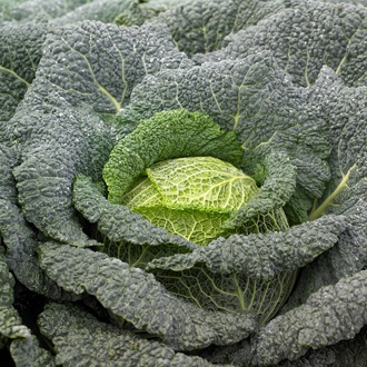 Cabbage Cordoba F1 Seeds