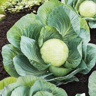 Cabbage Kilastor F1 Seeds