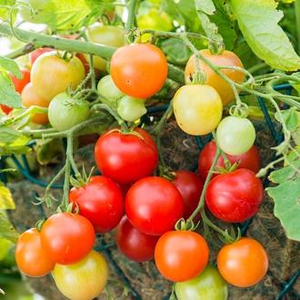 Tomato (Cherry) Siderno F1 Seeds