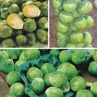 Brussels Sprout Seeds Cropping Programme