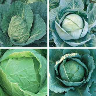Cabbage Seeds Cropping Programme