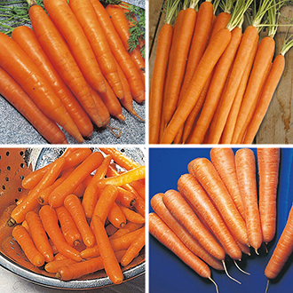 Carrot Seeds Cropping Programme