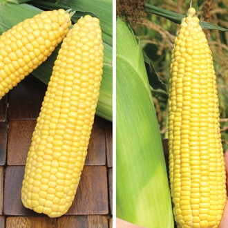 Long Cropping Sweetcorn Seed Collection