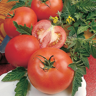 Tomato Alicante Plants (Medium)