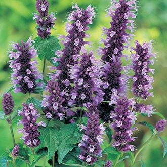 Agastache Blackadder Potted Flower Plant