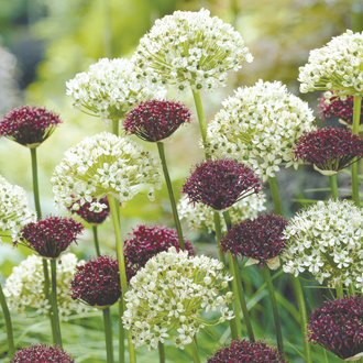 Allium atropurpureum & nigrum Bulb Collection