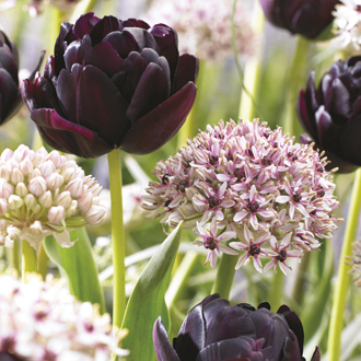 Allium and Tulip Flower Bulb Collection