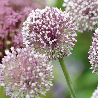 Allium Summer Drummer Flower Bulbs