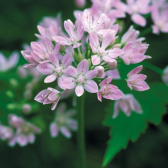 Allium Unifolium Bulbs