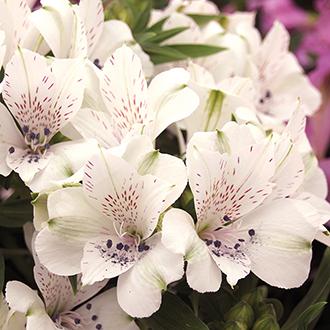 Alstroemeria Inticancha Magic White Flower Plants