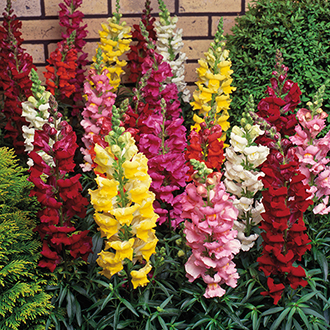 Antirrhinum Sonnet Mixed F1 Plug Plants