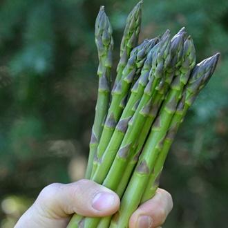 Asparagus Guelph Equinox Crowns