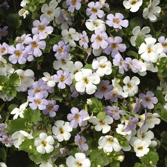 Bacopa Topia Mixed Plug Plants