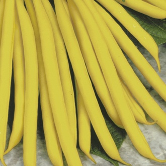 Dwarf French Bean Sonesta AGM Plants