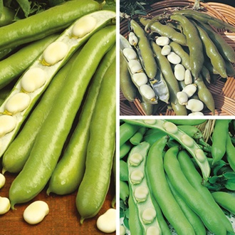 Broad Bean Plant Collection