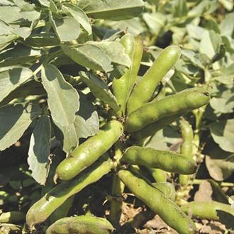 Broad Bean Robin Hood AGM Plants