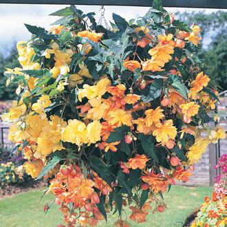 Begonia Illumination Apricot Shades F1 Plug Plants