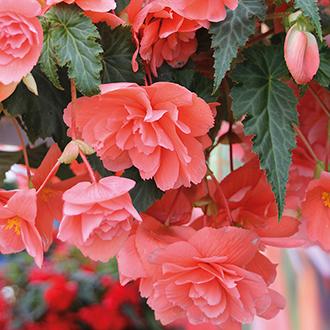 Begonia Illumination Salmon Pink F1 Plug Plants