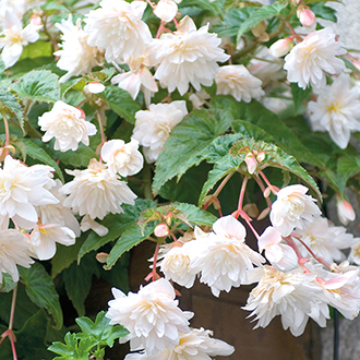 Begonia Illumination White F1 Plug Plants