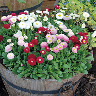 Bellis English Daisy Flower Plants