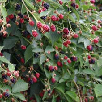 Blackberry Navaho Fruit Plant (Floricane)