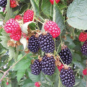 Blackberry Ouachita Fruit Plant (Floricane)