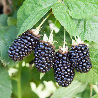 Blackberry Prime Ark 45 Fruit Plant (Primocane)