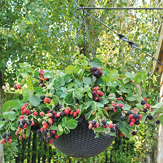 Blackberry Black Cascade Fruit Plants