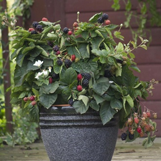 Blackberry Purple Opal Fruit Plant
