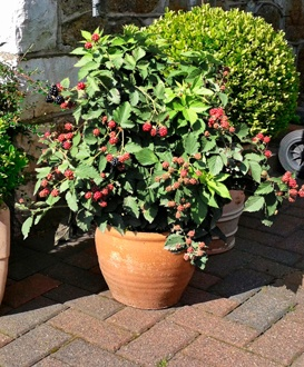 Blackberry TinyBlack Fruit Plant