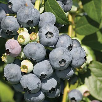 Blueberry Bluecrop Fruit Plant