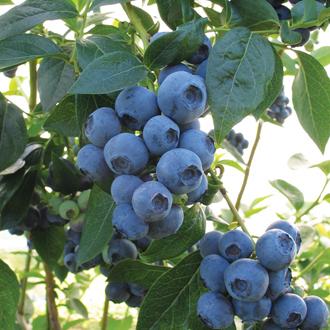Blueberry Aurora Fruit Plant