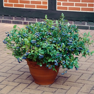 Blueberry Hortblue Petite Fruit Plant