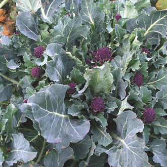 Broccoli Red Fire F1 (Purple sprouting) Seeds