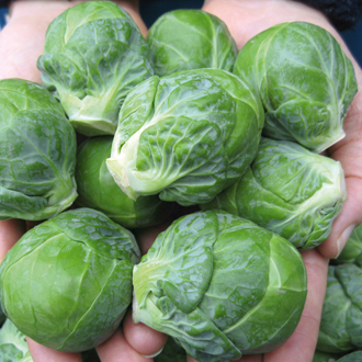 Brussels Sprout Marte F1 Seeds