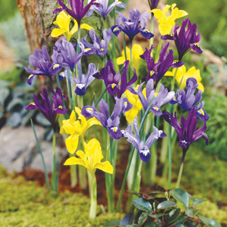 Dwarf Iris Flower Bulb Mix