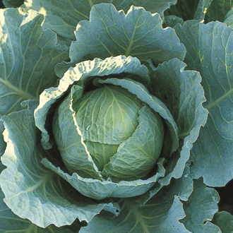 Cabbage Tundra F1 Plants