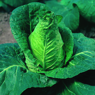 Cabbage Advantage Veg Plants