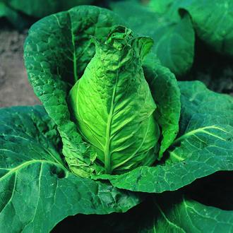 Cabbage Advantage Veg Plants