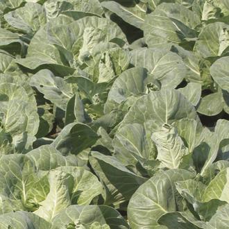 Cabbage Regency F1 Veg Plants