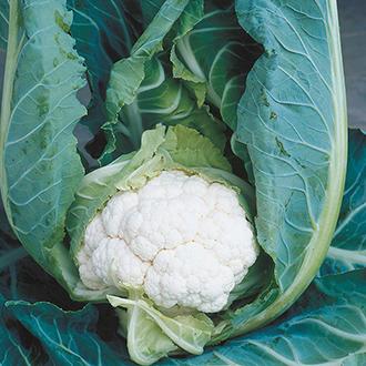 Cauliflower Clapton F1 Veg Plants