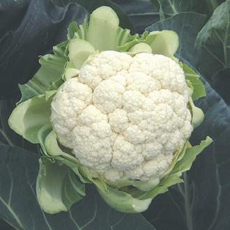 Cauliflower North Foreland F1 Plants