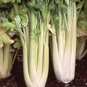 Celery Loretta AGM Vegetable Plants