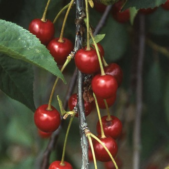 Cherry Morello fruit tree