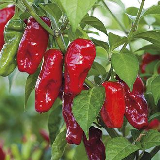 Pepper (Chilli) Bhut Jolokia Seeds