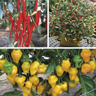 Chilli Pepper Plant Collection