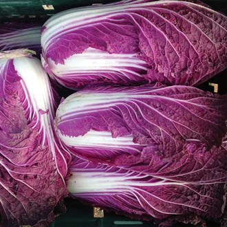 Chinese Cabbage Scansie F1 Plants