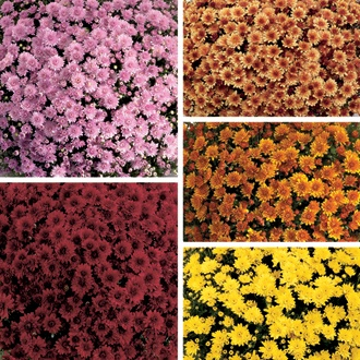 Chrysanthemum Outdoor Pot Flower Plant Collection- Pot Mums